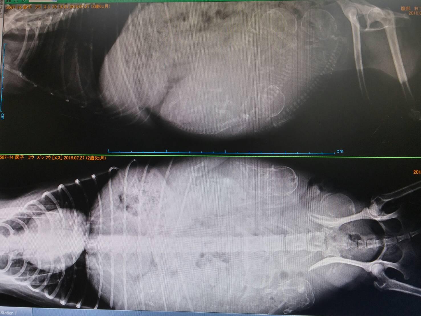 母親犬フウちゃん、妊娠確認