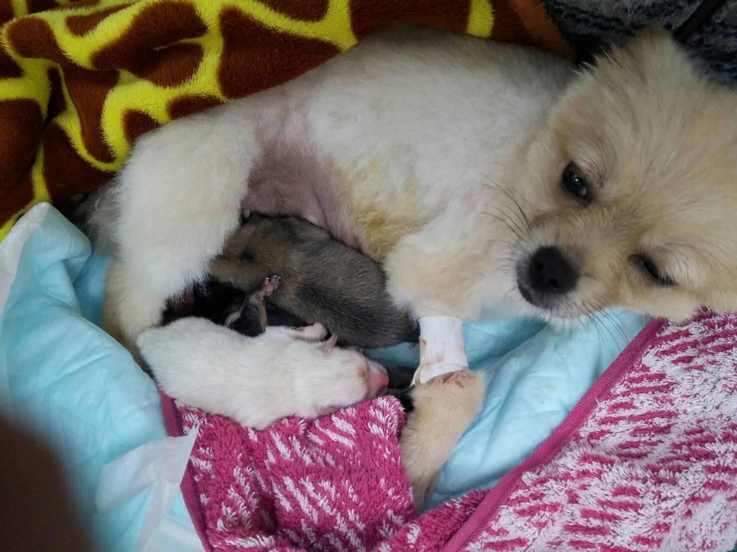 母親犬小南ちゃん(ポメラニアン)赤ちゃん誕生