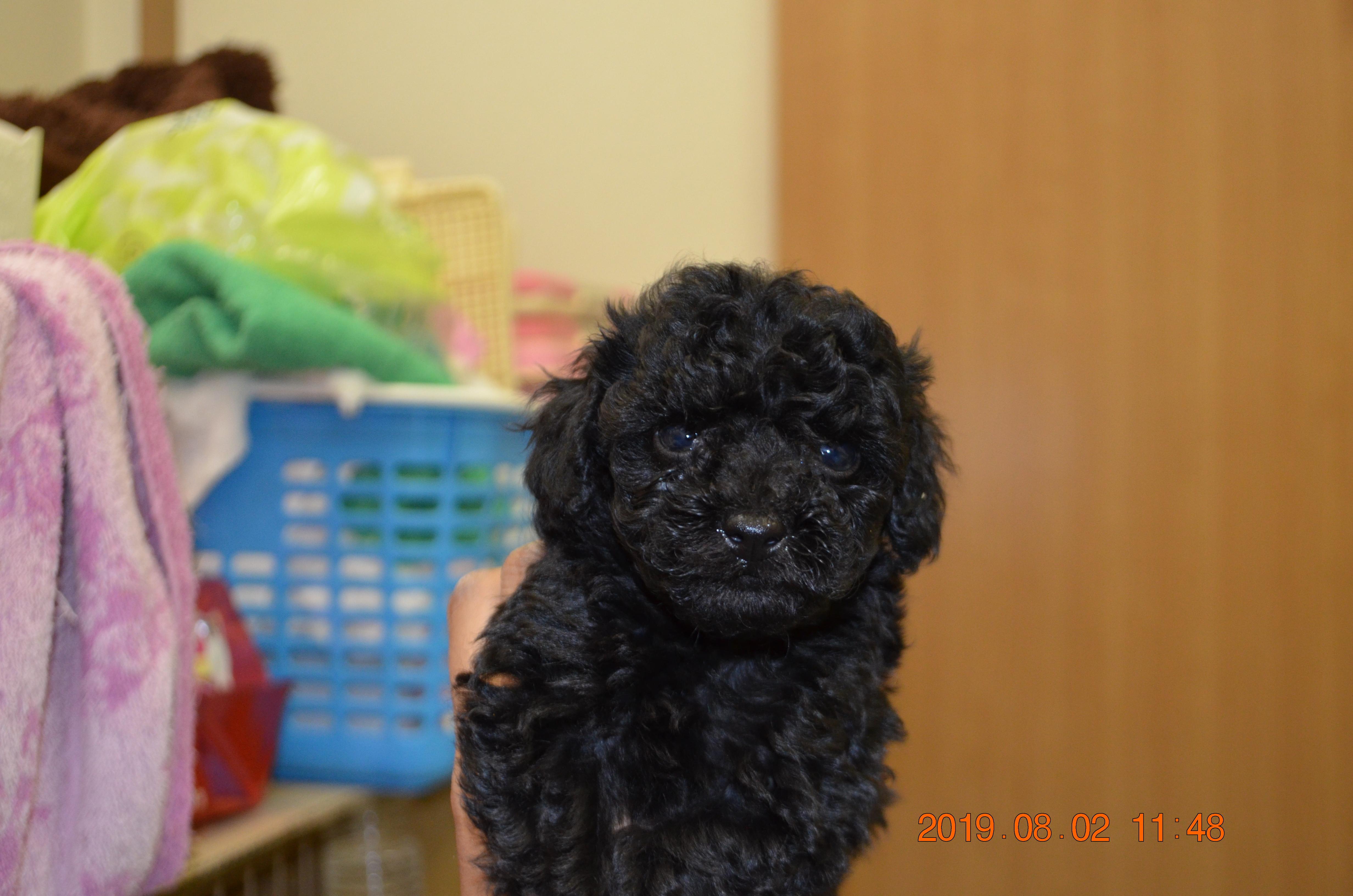 母親犬トトロ(タイニープードル)ちゃん、ブラックの女の子