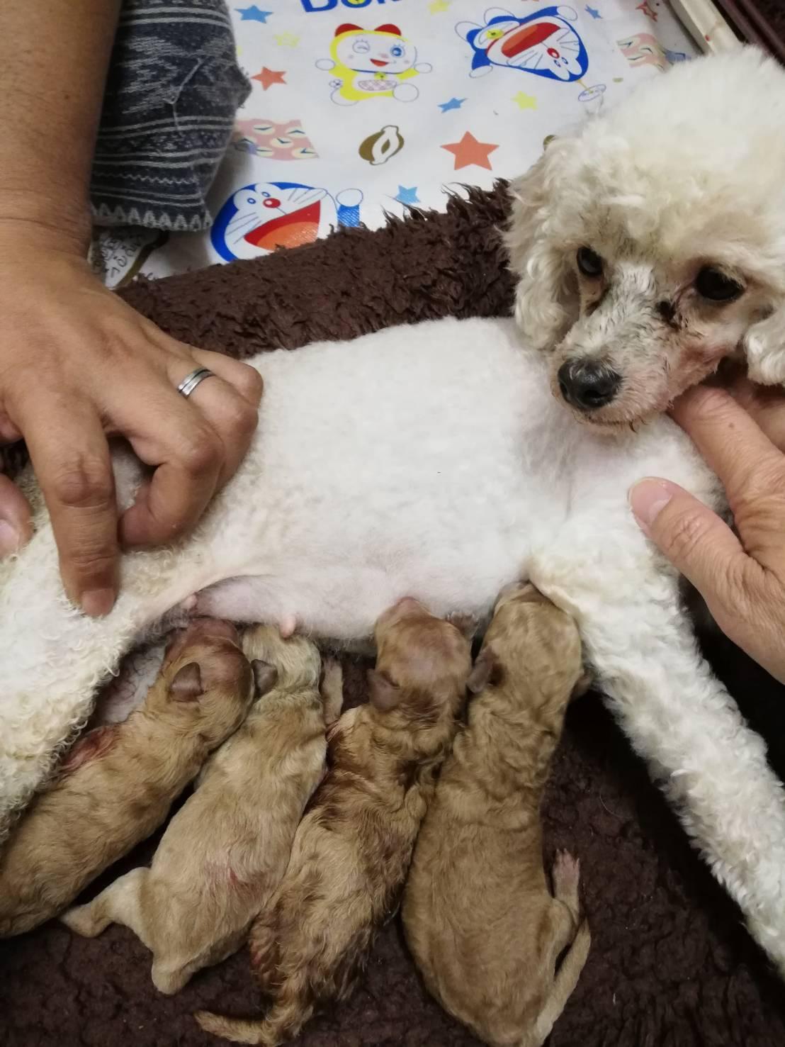 母親犬アリエッティ、赤ちゃん出産