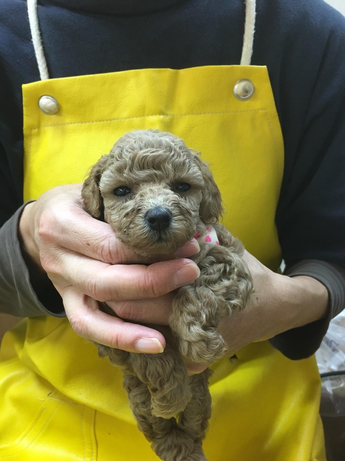母親犬フウ(タイニープードル)の赤ちゃん(長女)