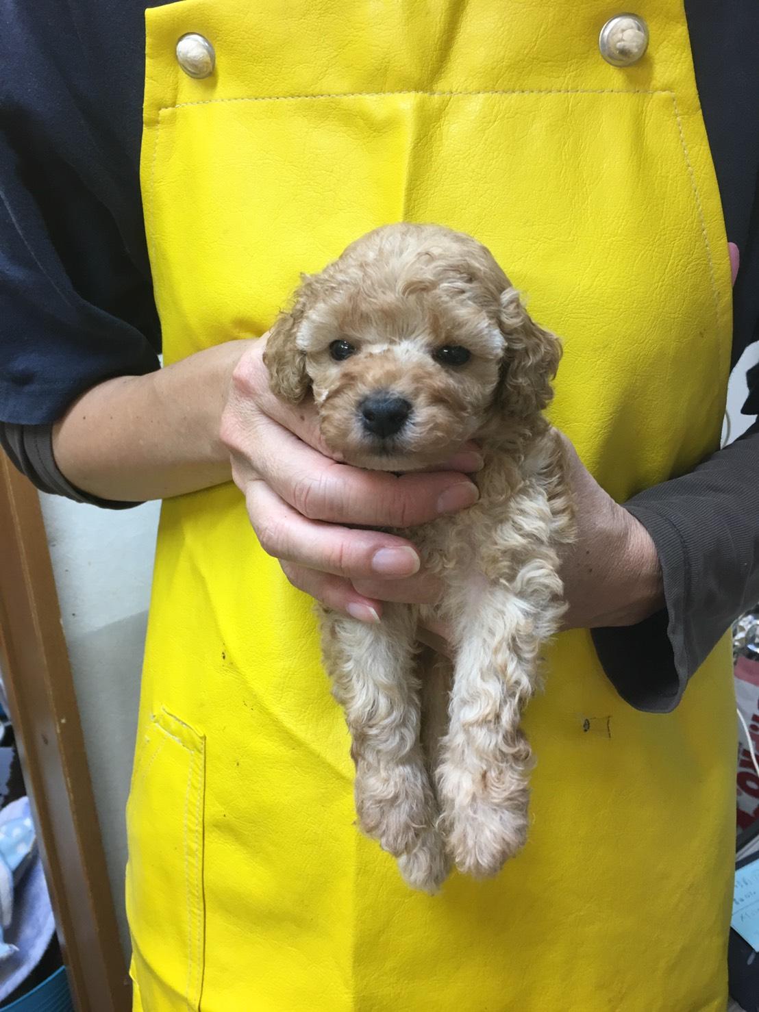 母親犬アリエッティ(タイニープードル)の赤ちゃん(次男)