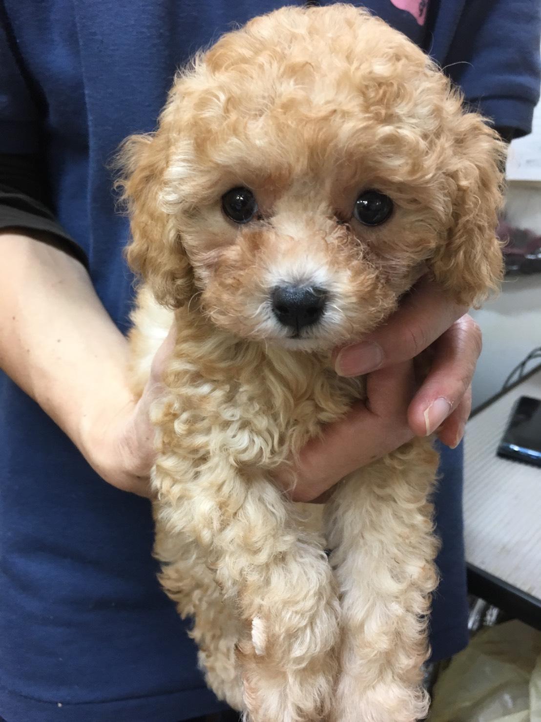 母親犬アリエッティ(タイニープードル)の赤ちゃん(次女)